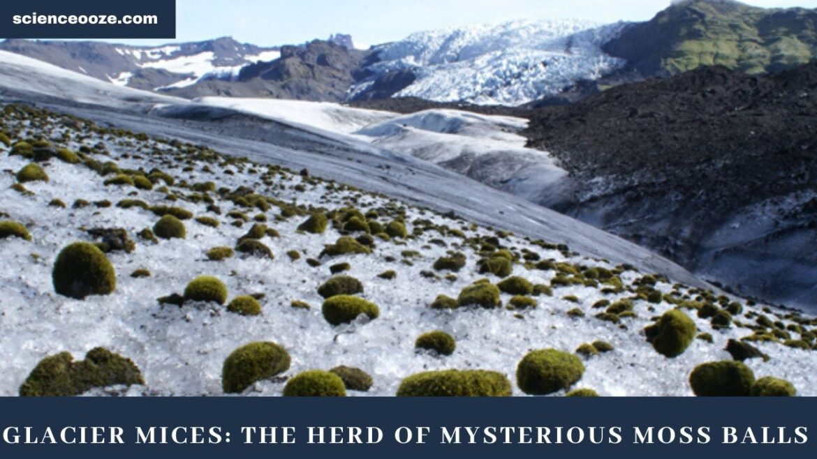 Glacier Mices the herd of mysterious moss balls