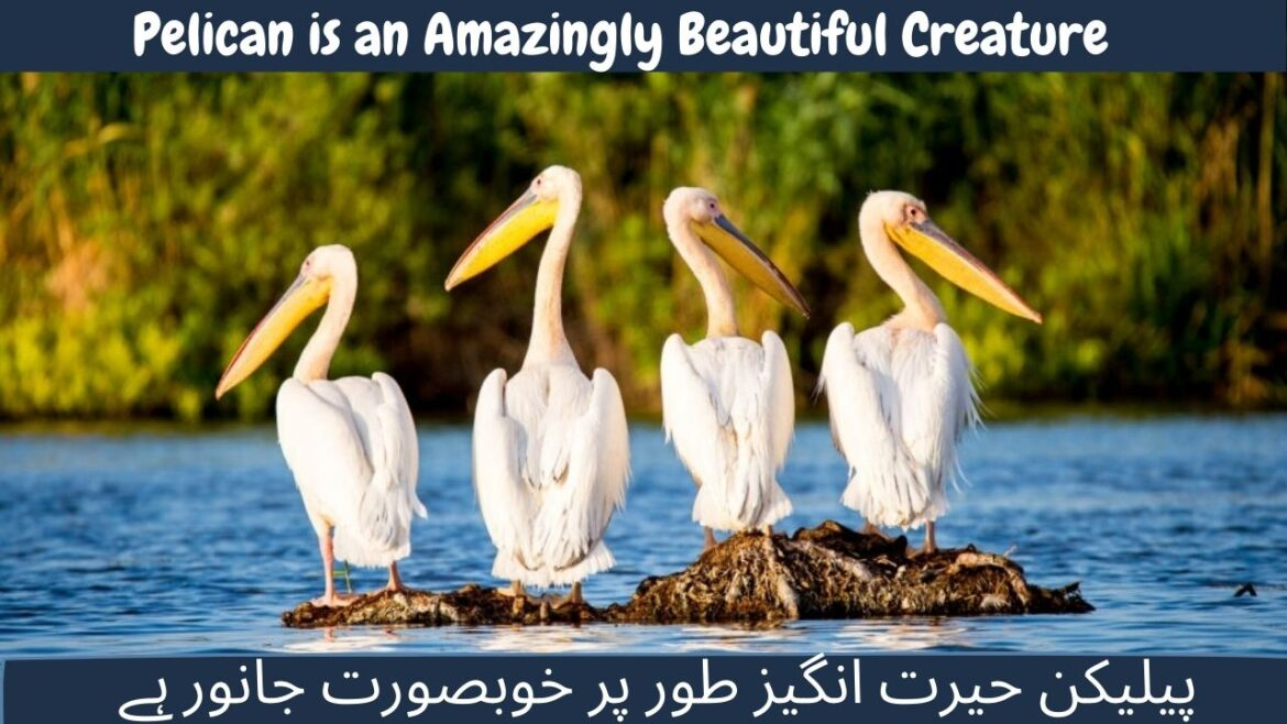 Pelican is an Amazingly Beautiful Creature